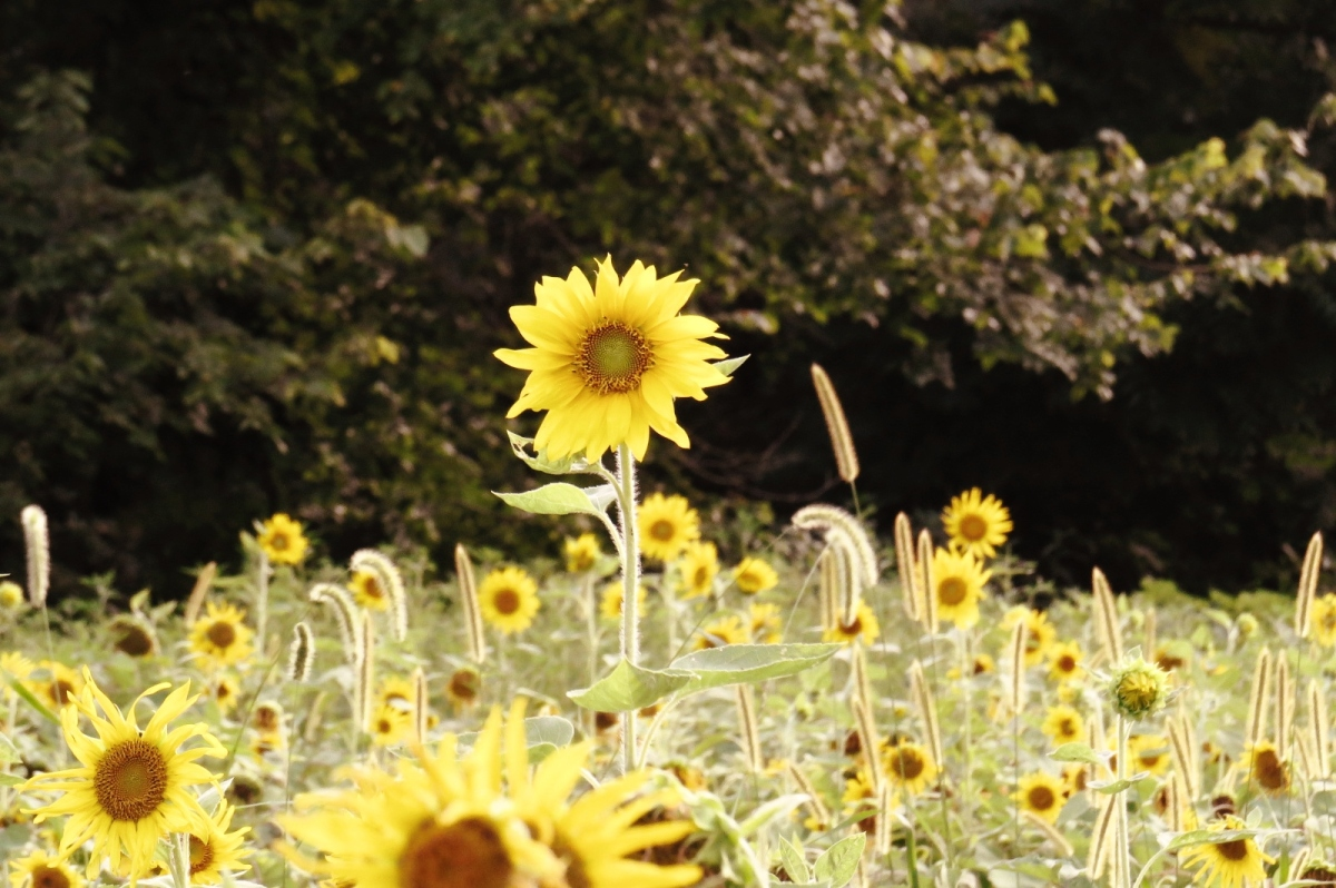 The Sunflower Fields {Pictures}
